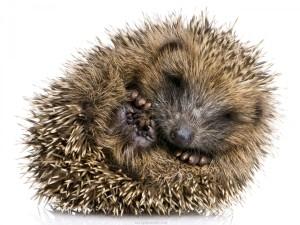 ball-cute-hedgehog-rolled-up